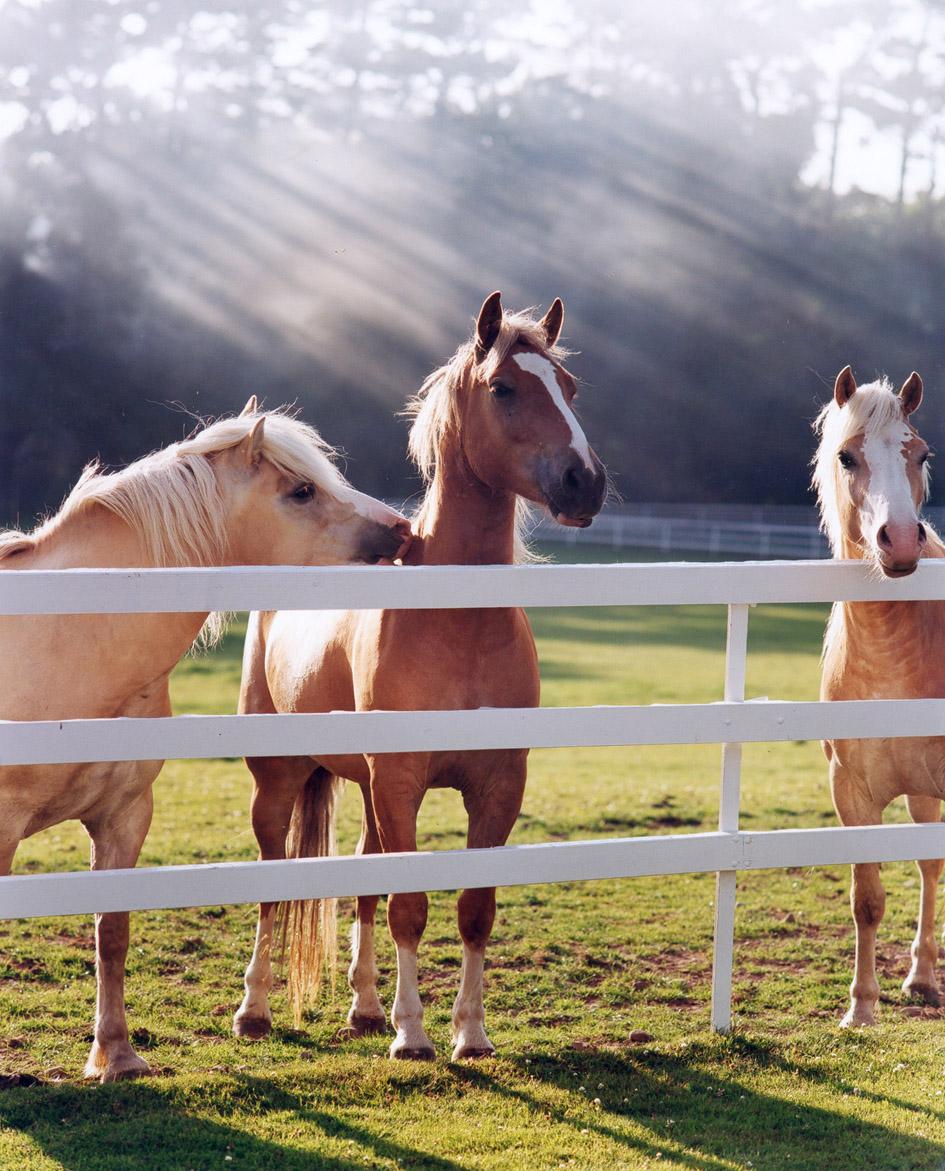 Haflinger Ponies at fence